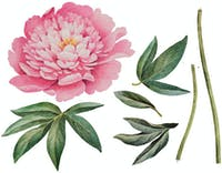 Codeco Wall sticker The Big One Peony