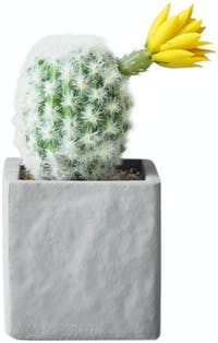 Flower Corner Cactus in Cement Pot D
