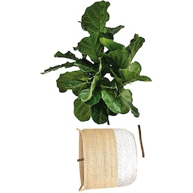 Codeco Wall Sticker Ficus Lyrata On Knit Pot #2