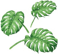 Painterous Wall Decal Summer Monstera 1808 100X77